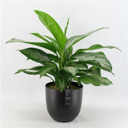 <h4>Bocr-2115 Botanical Green</h4>