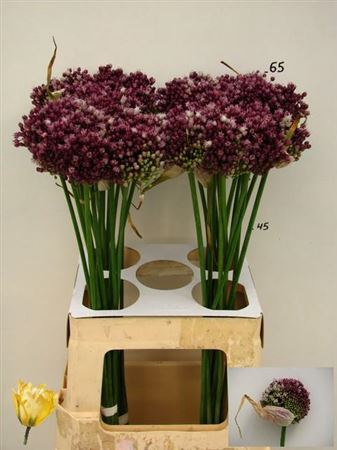 <h4>Allium Purpl Mystery</h4>
