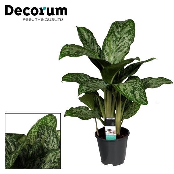 <h4>Aglaonema Greenlight (Decorum)</h4>