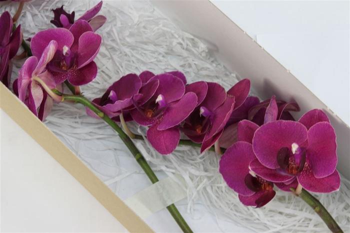 <h4>Phalaenopsis Montreux</h4>