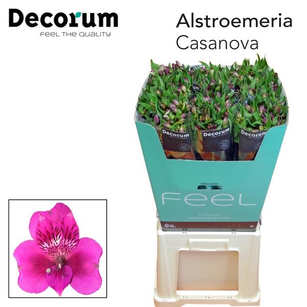 <h4>Alstroemeria Casanova</h4>