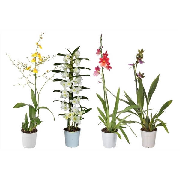 <h4>Orchidee mix 1t geurend</h4>