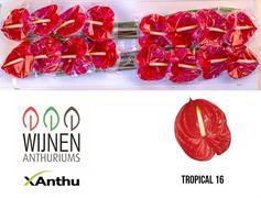 Anthurium Tropical