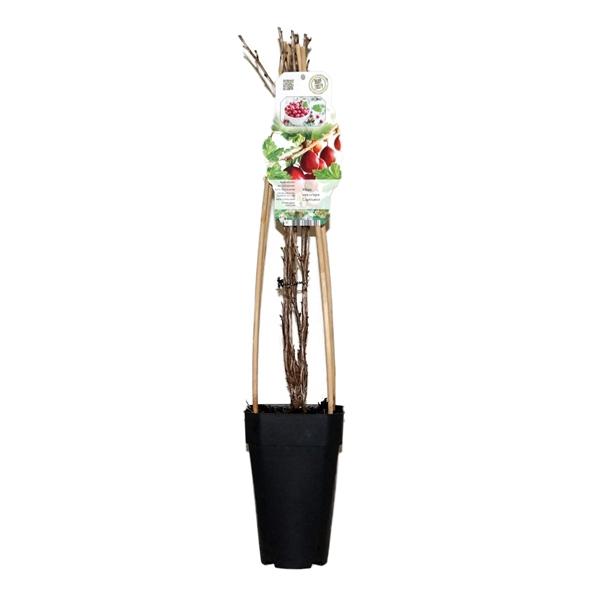 <h4>Ribes uva-crispa captivator</h4>