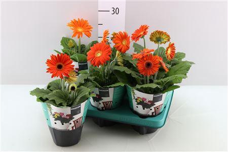 <h4>Gerbera Orange</h4>