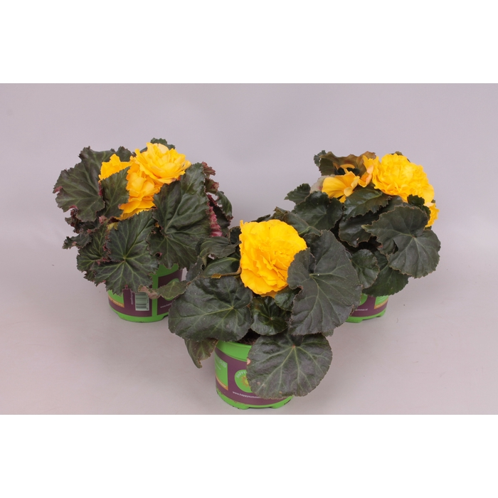 <h4>Begonia Tub. Nonstop yellow red back</h4>