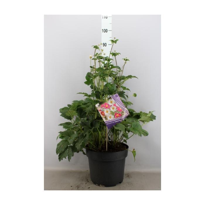 <h4>Anemone hybrida 'Honorine Jobert'</h4>