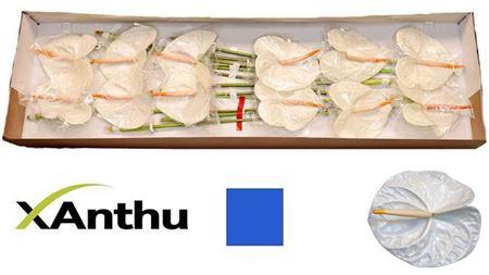 <h4>ANTH A ACROPOLIS X12</h4>