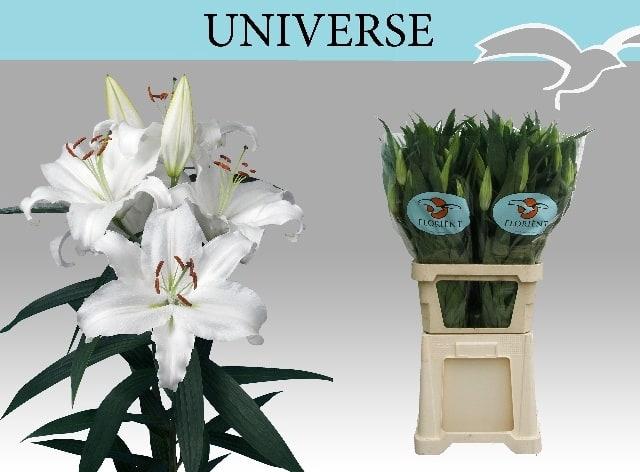 <h4>LI OR UNIVERSE</h4>