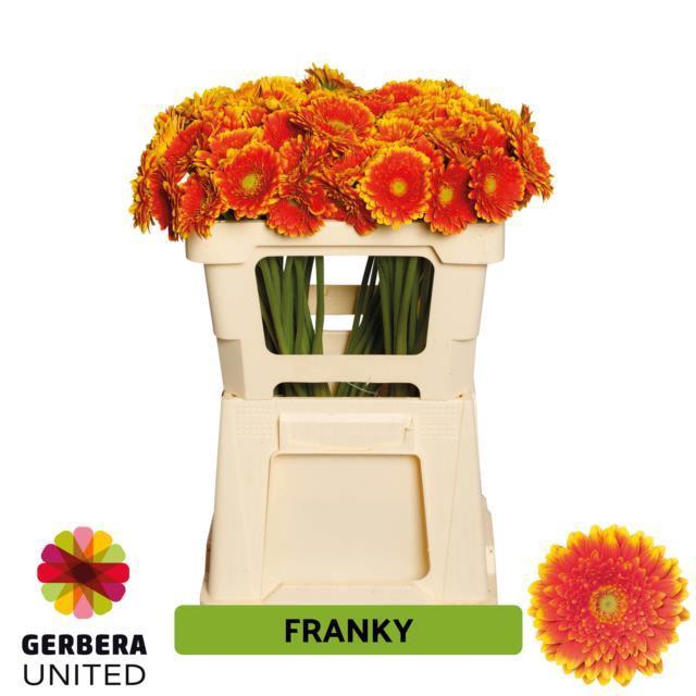 <h4>GE MI FRANKY</h4>