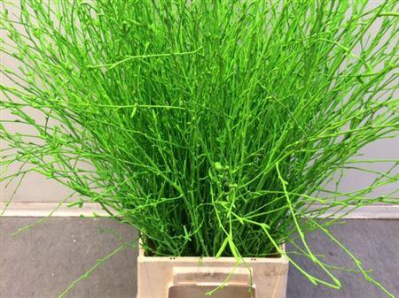 <h4>Berkentak Green 70cm</h4>