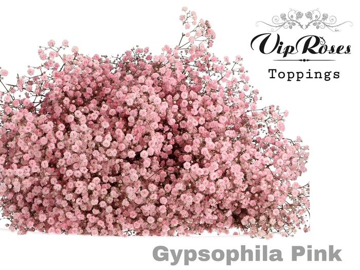 <h4>GYPS PA PINK</h4>