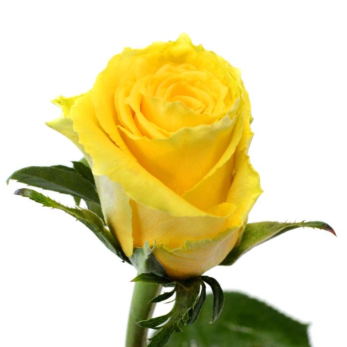 <h4>Rose Good Times</h4>