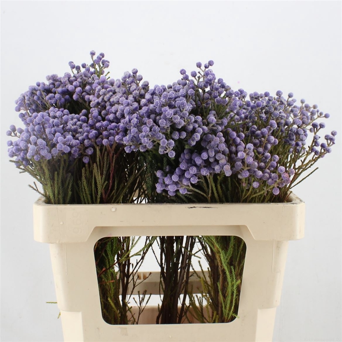 <h4>Berzelia Lanuginosa Purple</h4>
