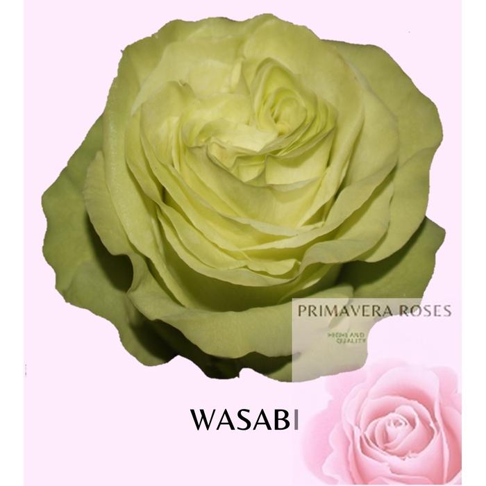 <h4>R GR WASABI</h4>