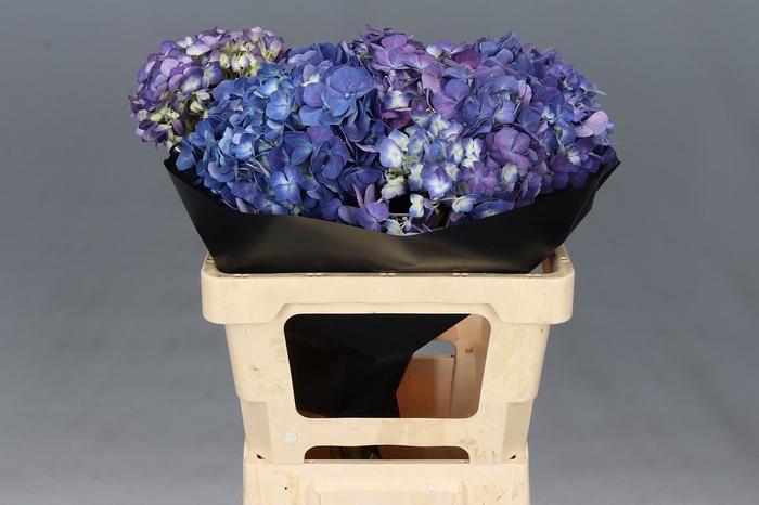 <h4>Hydrangea Purple XL</h4>