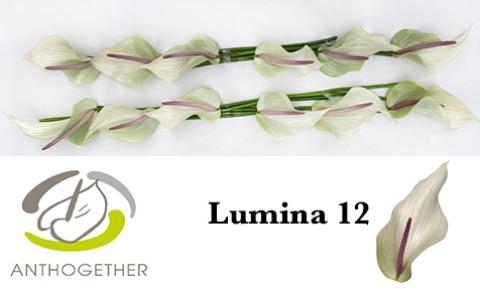 <h4>ANTH LUMINA</h4>