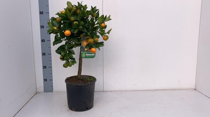 <h4>Citrus PPP microcarpa Calamondin</h4>