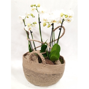 Arr.  Phalaenopsis MT 18+   H%