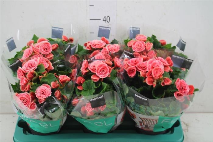 <h4>Begonia Du Borias</h4>