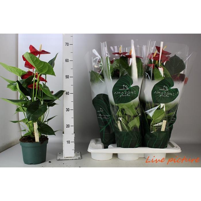 <h4>Anthurium Andr. Turenza</h4>