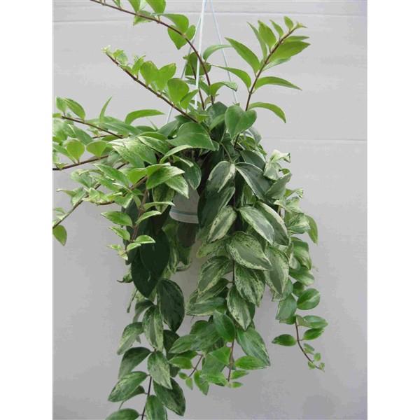 <h4>Aeschynanthus Variegata</h4>