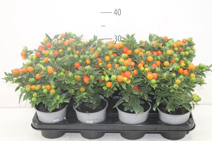 <h4>Solanum Bartoli Megaball</h4>