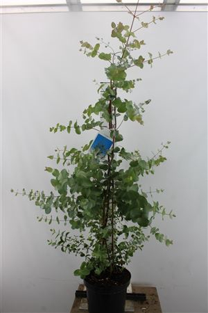 <h4>Eucalyptus Gunnii Xxl</h4>