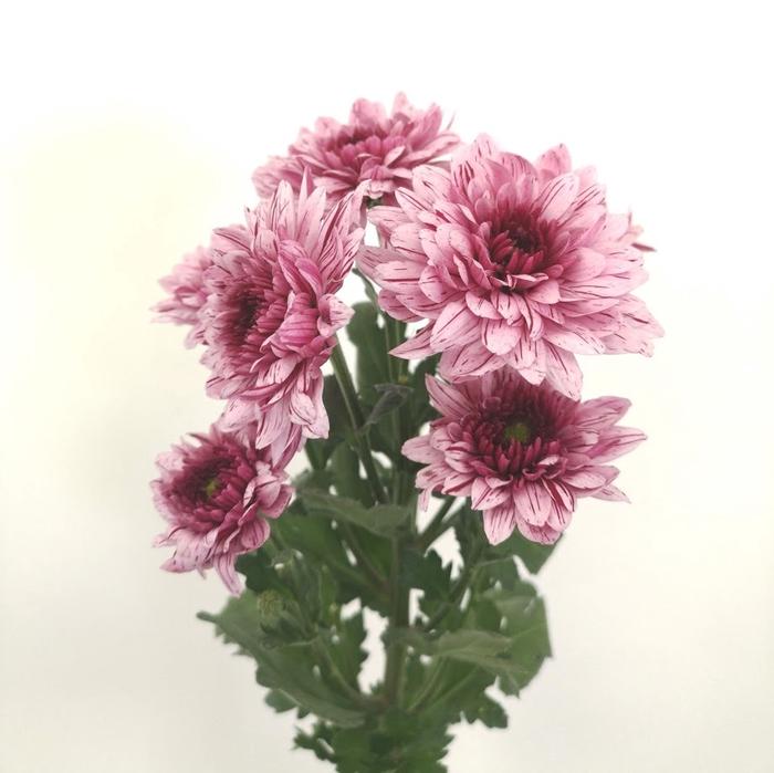 <h4>Chrysanthemum spray vip</h4>