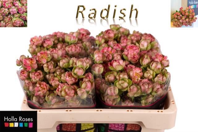 <h4>R TR WILD RADISH</h4>