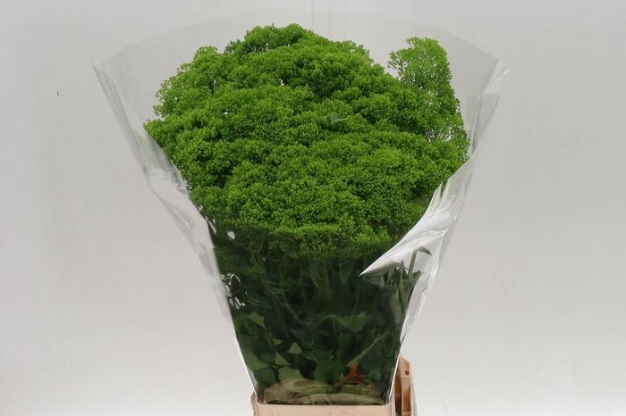 <h4>Trachelium Briba Green</h4>
