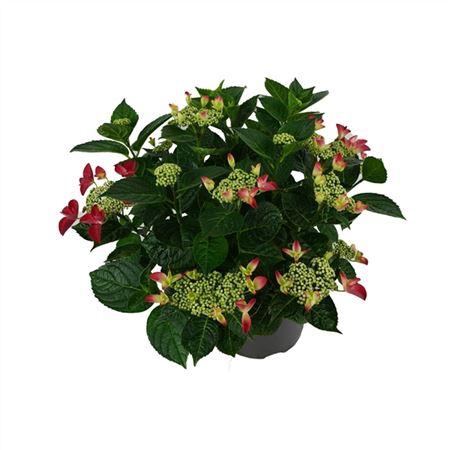 <h4>Hydrangea Lacecap Red 7+</h4>