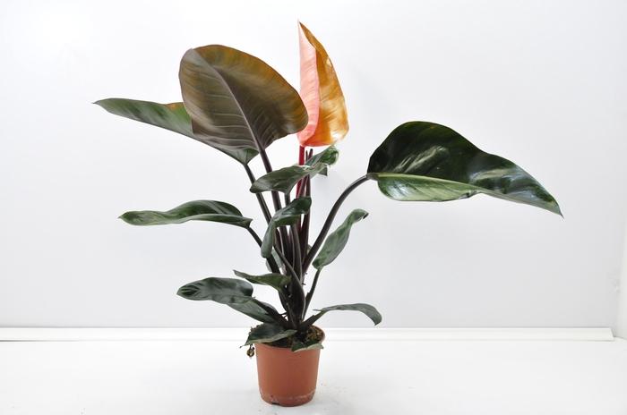 <h4>Philodendron Rojo Congo 14Ø 40cm</h4>