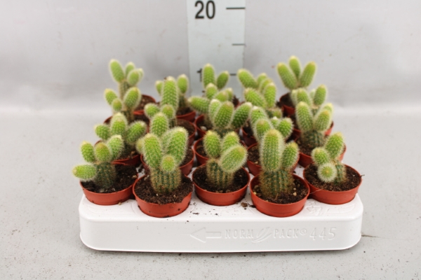 <h4>Cactus   ...</h4>