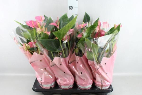 <h4>Anthurium andr. 'Pink Fever'</h4>