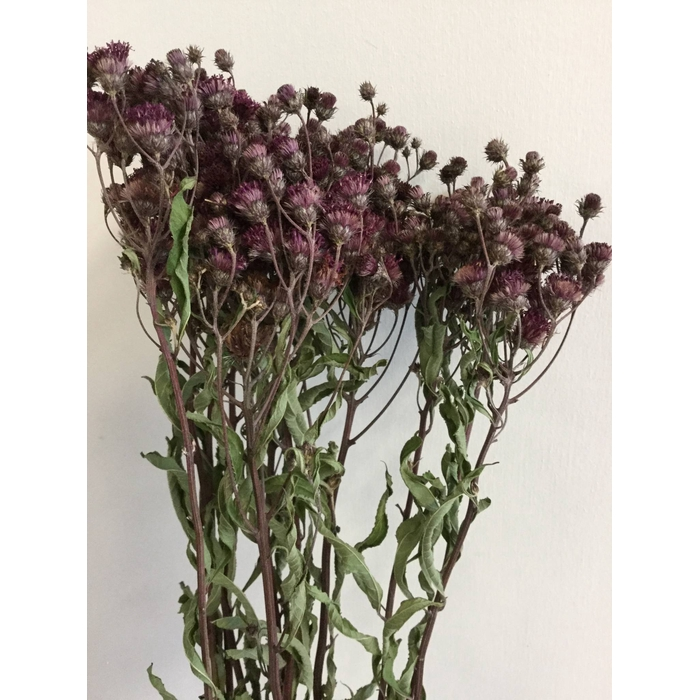 <h4>DRIED FLOWERS - VERNONIA PAARS 10PCS</h4>