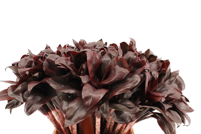 <h4>Cordyline Compacta Black</h4>