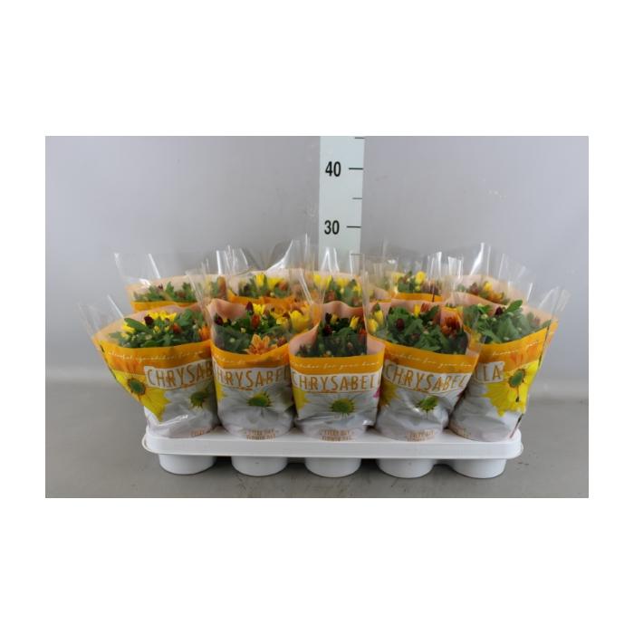<h4>Chrysanthemum    ..mix/pot</h4>