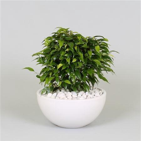 <h4>Ficus Be Green Kinky Keramiek Schaal</h4>