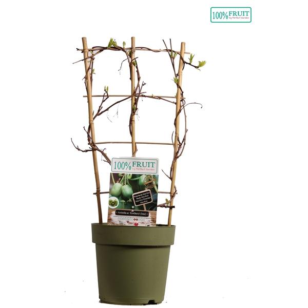<h4>Actinidia kiwiberry - Self-fertile - 100%FRUIT</h4>
