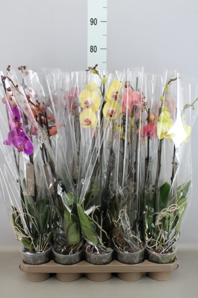 <h4>Phalaenopsis   ...mix  7</h4>