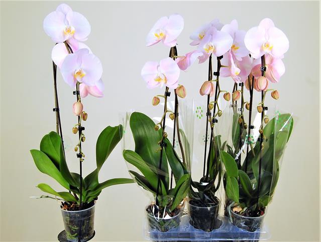 <h4>Phalaenopsis Casc 1 br. 13cm. fl.</h4>