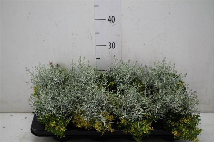 <h4>Thyca Thymus Calocephalus Mix Per Pot</h4>