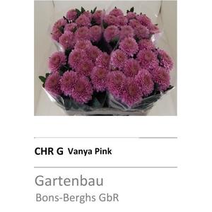 CHR G VANYA PINK