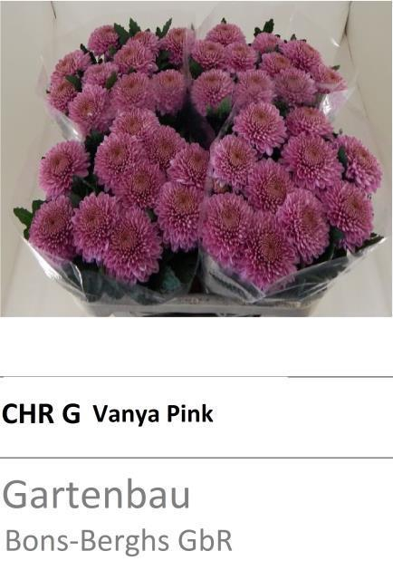 <h4>CHR G VANYA PINK</h4>