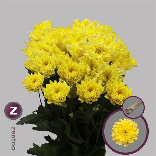 <h4>Chrysanthemum TR 'Pina Colada Yell'</h4>