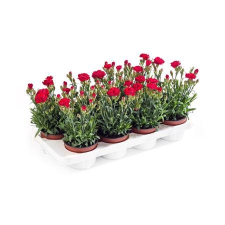 <h4>Dianthus Caryophyllus 'antonio'</h4>