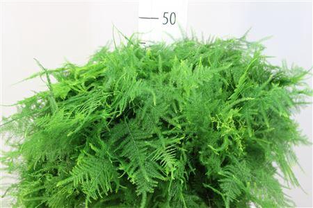 <h4>Asparagus Plumosus 1e Veren</h4>
