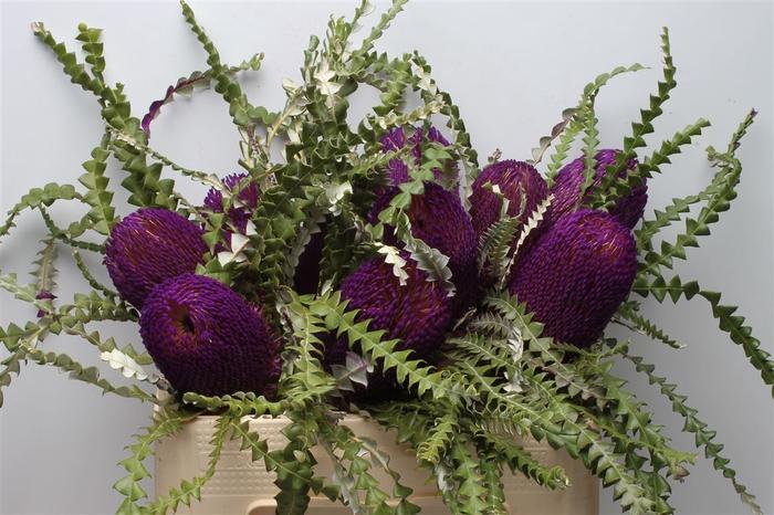 <h4>Banksia Speciosa Purple</h4>
