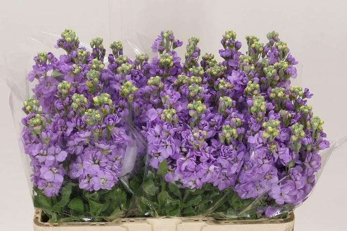 <h4>Violier Figaro Lavende</h4>
